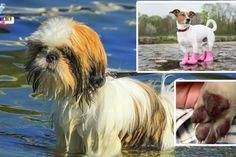 Cuidados com seu cãozinho ao passear no verão O verão no Japão é forte para os animais também! Veja dicas importantes para proteger o seu Pet!
