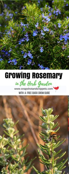 Growing Rosemary in the Herb garden is not hard and this amazing herb is a great addition to any kitchen garden. Rosemary helps with digestion and memory and tastes great.