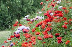 intense colours of poppies on the riverbanks near Elbow Bridge on the River Trent Newark On Trent, Poppies, Bridge, River, Colours, Plants, Bridge Pattern, Poppy, Bridges