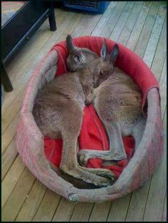 Two little kangaroos snuggle up for a sleep
