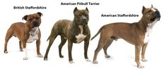 Know the Difference! (staffordshire terrier, pit bull terrier, american staffordshire terrier)