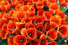 tulips...Dallas Arboretum
