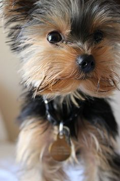 Come closer for a Yorkie kiss!