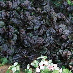 Black Scallop Ajuga maybe to the right to cover poison ivy. groundcover Bloom Color Dark Blue Foliage Color Dark Green, Purple Light Requirements Full Sun, Part Shade Soil Tolerance Normal, loamy Shade Garden, Garden Plants, Gothic Garden, Garden Floor, Design Floral, Ground Cover Plants, Black Garden, Black Flowers, White Gardens