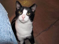 The Creative Cat - Cats for Adoption: Oliver is Looking For the Perfect Home, and Donate for a Gift