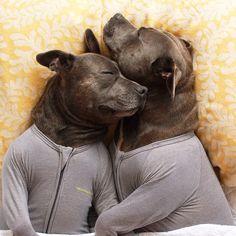 Adorable Bull Terriers Have Cuddle-Filled Pajama Parties - My Modern Met