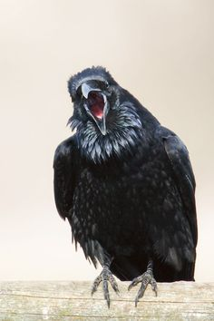 "Raven's looking Upset!!!! CJ Hockett Photography - ""Raven Squack"""