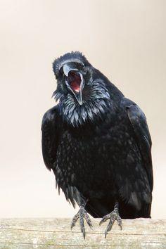 "Raven's looking Upset!!!! CJ Hockett Photography - ""Raven Squack"""