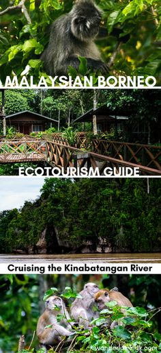 Read what to do in Malaysian Borneo, where to go by the kinabatangan river, where to see orangutans in the wild, and decide which kinabatangan river tour to choose!