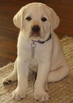 Meet Zoe the Labrador Retriever ...love when labbies sit like this