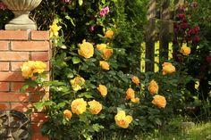 Znalezione obrazy dla zapytania BERNSTEIN ROSE róża