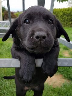 Puppies And Kitties, Cute Puppies, Doggies, Cute Dogs, Cute Small Animals, Animals And Pets, Baby Animals, Cute Dog Photos, Black Lab Puppies