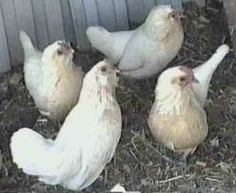 Belgian D'Anver Chickens - Google Search