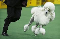 30 Pictures Of Dogs Prancing Around At The 138th Westminster Kennel Club