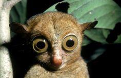 135620327-western-tarsier-gettyimages.jpg 512×334 pixels