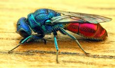 "http://jjsphotographicblog""It's a ruby-tailed wasp. Ruby-tailed wasps belong to the order Hymenoptera, that includes sawflies, bees and wasps. Here in the U.K. we have a number of species that are difficult to tell apart with any degree of certainty. They are all are beautifully coloured, red, blue, green and bronze metallic colours. Their abdomens are usually a ruby red colour which gives the wasps their name 'ruby-tail'. These wasps are solitary meaning they do not live in large social…"