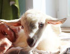 Тая и козы - Ярмарка Мастеров - ручная работа, handmade