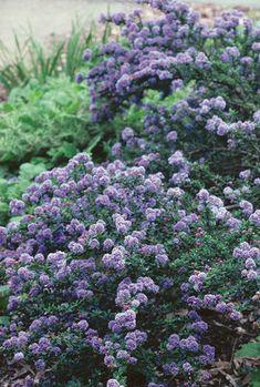 Julia Phelps California Lilac Ceanothus 'Julia Phelps'