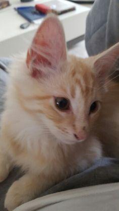 Bowie  main coon kitten