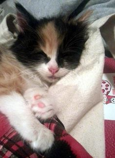 tiny calico kitten rescued now 3 months old