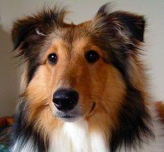 My Sheltie. Shetland Sheep Dog.