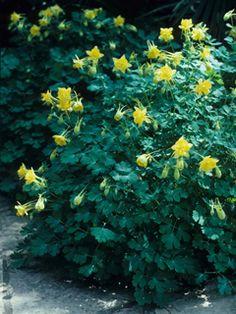 Yellow columbine, good for Dallas gardens-Aquilegia chrysantha (Golden columbine)