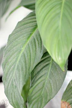 Oravanpesä | Viirivehka | Spathiphyllum