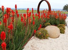 Aloe's stopping traffic. Corten steel moon gate sculpture.www.rpgardendesign.com.au Coastal Gardens, Corten Steel, Aloe, Garden Design, Gardening, Lawn And Garden, Landscape Designs, Horticulture, Yard Design