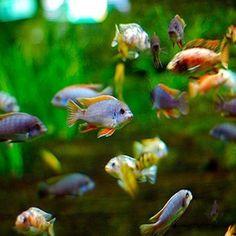 Colorful Fish, Tropical Fish, Aquarium Backgrounds, White Zombie, Freshwater Aquarium Fish, Types Of Fish, African Cichlids, Real Plants, Planted Aquarium