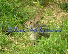 Eastern Cottontail 8 x 10 inch Print  by CillanasArtByNature, $20.00