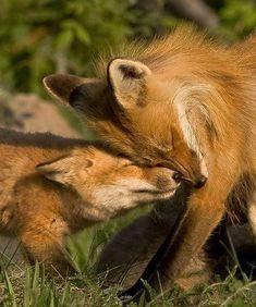 fox, fox and kit snuggling, photo, jerry schmanda Cute Baby Animals, Animals And Pets, Funny Animals, Wild Animals, Beautiful Creatures, Animals Beautiful, Fantastic Fox, Fabulous Fox, Photo Animaliere