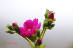 Blomster Flowers, Plants, Photography, Photograph, Fotografie, Photoshoot, Plant, Royal Icing Flowers, Flower