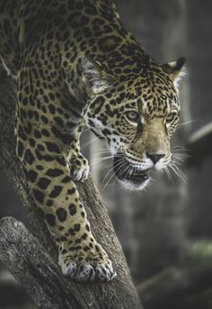 Valerio is such a stalker. Jaguar photo by Paul E.M. on Flickr.