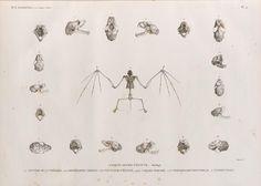 """Zoologie. Mammifères. Chauve-souris d'Égypte. Ostéologie. 1.1'.1"""". Nyctère de la thébaïde; 2.2'.2"""". Rhinolophe trident; 3.3'.3"""". Nyctinôme d'Égypte; 4.4'.4"""".4'"""". Taphien perforé; 5.5'.5"""". Vespertilion pipistrelle; 6. Taphien filet. From New York Public Library Digital Collections."""
