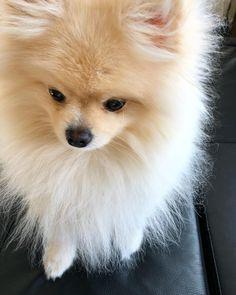 36 vind-ik-leuks, 2 reacties - Mochi The Pomeranian (@mochi.pomeranian) op Instagram: '' #Pomeranian