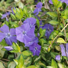 Vinca minor 'Illumination' (Large Plant) - Perennial & Biennial Plants - Thompson & Morgan