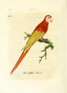 Red and yellow Maccaw. A general history of birds v. 2 (1822) Winchester [England] :Printed by Jacob and Johnson, for the author : sold in London by G. and W.B. Whittaker ... [and 3 others],1821-1828. Biodiversitylibrary. Biodivlibrary. BHL. Biodiversity Heritage Library