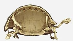 Funny pictures about I just realized how weird tortoises are. Oh, and cool pics about I just realized how weird tortoises are. Also, I just realized how weird tortoises are. Animal Skeletons, Animal Skulls, Historia Natural, Animal Anatomy, Animal Bones, Reptiles And Amphibians, Tortoises, Skull And Bones, Cool Pictures