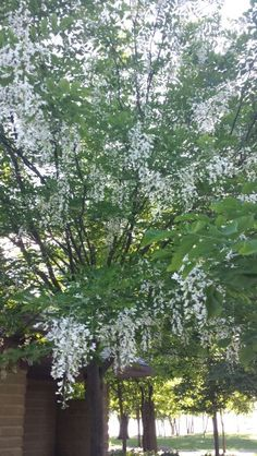 Yellow wood Tree in bloom