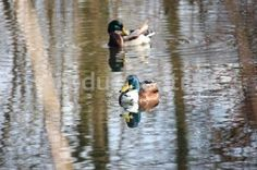 Ducks swimming on a pond. Royalty free stock photos at http://www.productiontrax.com