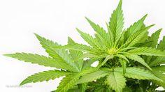 Remarkable ways cannabis can help prevent illness – NaturalNews.com