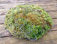 Wonderful garden toadstool living sculpture, made from chicken wire, moss and succulents.
