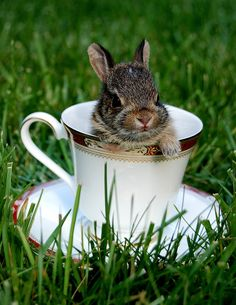 Bunny in a teacup. so cute , it reminds me of the rabbit in Alice in Wonderland Funny Bunnies, Baby Bunnies, Cute Bunny, Bunny Rabbits, Baby Ducks, Cute Baby Animals, Animals And Pets, Funny Animals, Hamsters