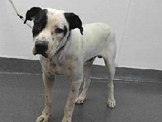 03058 17-03058 is a white/black, male adult dog, that weighs approximately 47 lbs. He was impounded on 8/8/2016 from the City of Paramount. Availability: Available for adoption holds on 8/8/2016. Adoption holds must be placed in person. Adoption availability date 8/12/2016. Please visit SEAACA and ask for identification number 17-03058 to see me.