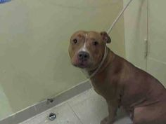 Brooklyn Center   HAZEL - A1010009   FEMALE, BROWN / WHITE, PIT BULL MIX, 1 yr, 8 mos OWNER SUR - EVALUATE, NO HOLD Reason PERS PROB  Intake condition EXAM REQ Intake Date 08/10/2014, From NY 10314, DueOut Date 08/13/2014  NEW THREAD: https://www.facebook.com/Urgentdeathrowdogs/photos/a.617941078218775.1073741869.152876678058553/852825594730321/?type=3&theater