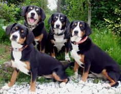 Appenzeller Sennenhunde is one of four related Swiss breeds.  The other three are the Greater Swiss Mountain Dog, the Bernese Mountain Dog, and the Entlebucher. The breed was, and still is, a livestock guardian, draft dog, and versatile farm dog.