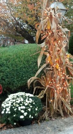 49 Best Corn Stalk Decor Images Autumn Decorations Corn Stalk
