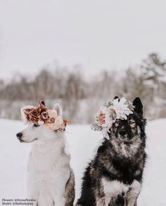 Beautiful Flower Crowns For The Most Majestic Animals – The first flower crown college professor Yarely made was for her dog, Australian shepherd Freya. Pretty Animals, Cute Little Animals, Cute Funny Animals, Funny Dogs, Beautiful Dogs, Animals Beautiful, Majestic Animals, Cute Dogs And Puppies, Doggies