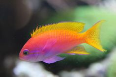 Neon Coral Fish  Colour inspiration for my next tail :)