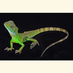 Chinese Water Dragon - Missing Mushu. Reptiles And Amphibians, Mammals, Chinese Water Dragon, Classroom Pets, Pet Frogs, Lizard Dragon, Pet Supplies Plus, Animals Of The World, Natural Pet Food
